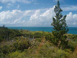 Ferry Reach, Bermuda - Juvenile Bermuda cedar at Ferry Reach.