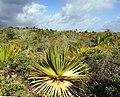 Juvenile Pandanus heterocarpus at Francois Leguat.jpg