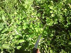 Η καυκαλήθρα (το χόρτο που ακουμπά το μαχαίρι) συναντάται σε αγρούς και λειβάδια της ελληνικής υπαίθρου