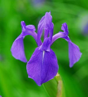 Kakitsubata - Iris Laevigata