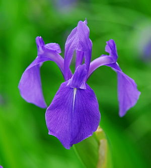 Iris laevigata - Image: Kakitsubata 1