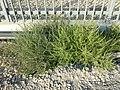 Kali tragus + Amaranthus albus sl1.jpg