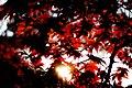 Kamakura maple leaves (Unsplash).jpg