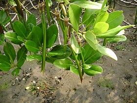 Kandelia obovata at Ting Kok mangrove.JPG