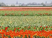 Keukenhof Field