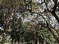 Kigelia africana 19.jpg
