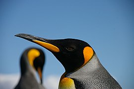 King penguin blue and orange.jpg