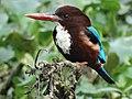 Kingfisher 006.jpg