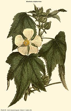 Kitaibela vitifolia (Curtis).jpg