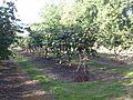 Kiwi adour 1.JPG