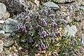 Klagenfurt Villacher Vorstadt Botanischer Garten Schwarz-Küchenschelle 04042018 5789.jpg