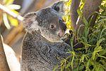 Koala (28881098673).jpg