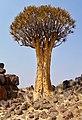 Kokerboom (37006899044).jpg