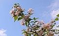 Kolkwitzia amabilis (Paradisbuske) 007.jpg