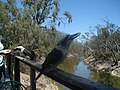 Kookaburra at Echuca - panoramio.jpg