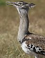 Kori bustard, Ardeotis kori, at Pilanesberg National Park, Northwest Province, South Africa (28618193252).jpg