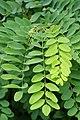 Korina 2017-08-12 Robinia pseudoacacia 1.jpg