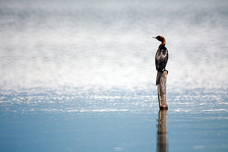 Cormorant standing on a stake in Lake Prespa, Macedonia
