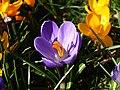 Krokusblüte CLP.jpg