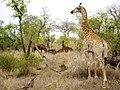 Kruger NP (6290928162).jpg