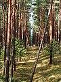 Kurische Nehrung September 2019 Bäume bei der Epha-Düne.jpg