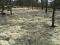 Kvitkrull cladonia stellaris.jpg