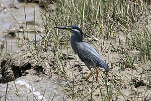 Sajnakhali Wildlife Sanctuary - Image: LITTLE HERON (Butorides striatus)