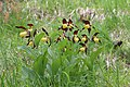 Lady's-Slipper Orchid - Cypripedium calceolus - panoramio (19).jpg