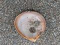 Laevicardium crassum 107060608.jpg