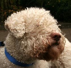perro Lagotto romagnolo