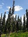 Lalazaar trees.jpg