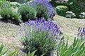 Lamiales - Lavandula angustifolia - 1.jpg