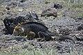 Land Iguans (40841841183).jpg