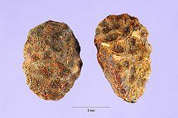 Landolphia owariensis seeds.jpg