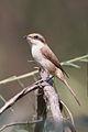 Lanius cristatus - Phra Non.jpg