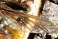 Laphria.flava.wing.detail.jpg