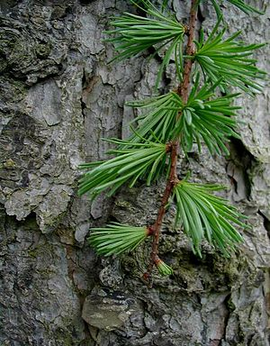 Larix kaempferi - Bark and leaves