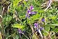 Lathyrus japonicus 03.jpg
