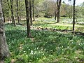 Laurel Ridge Foundation Narcissus Plantings - IMG 6454.JPG