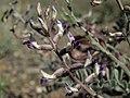 Layne milkvetch, Astragalus layneae (44370026910).jpg