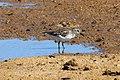 Least sandpiper (Calidris minutilla) Cu.JPG
