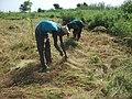 Lentraide au village les jeunes du village se retrouvent pour la moisson du fonio dune famille. (8577029191).jpg