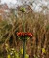 Leonotis leonurus. Locatie, Tuinreservaat Jonkervallei 02.jpg