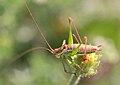 Leptophyes albovittata - Burgenland.jpg