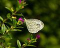 Leptosia nina, Sukorambi Botanical Gardens 02.jpg