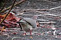 Leptotila verreauxi Tórtola colipinta White-tipped Dove (8500866423).jpg