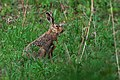 Lepus europaeus 05(js) Lodz (Poland).jpg