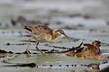 Lesser Jacana, Microparra capensis, Chobe River, Botswana (32095311041).jpg