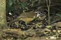 Lesser Necklaced Laughingthrush - Thailand S4E7020 (19463354016).jpg