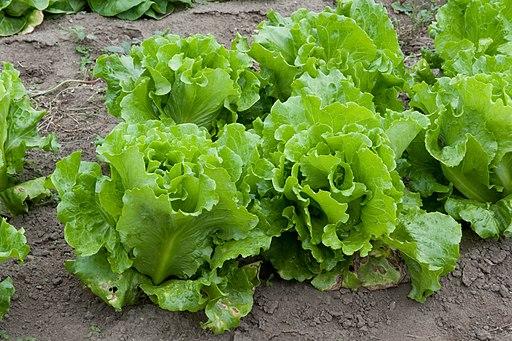 Lettuce (4988502522)